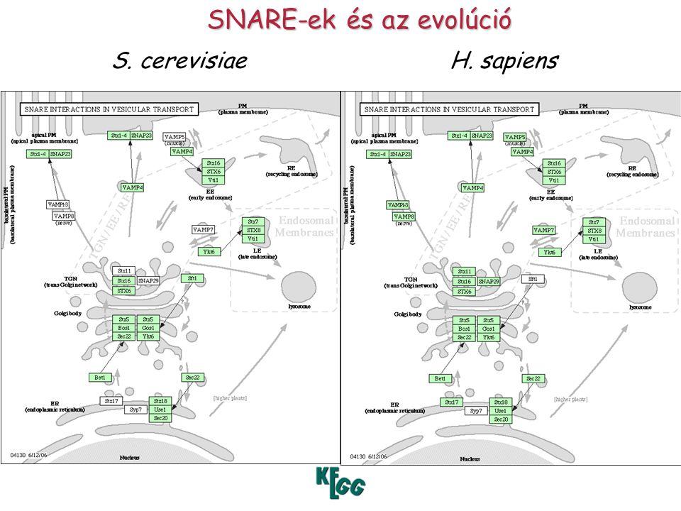 SNARE-ek és az evolúció