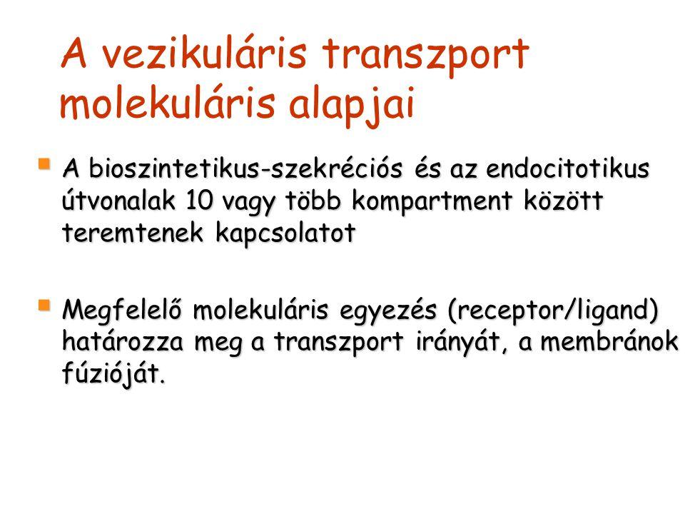 A vezikuláris transzport molekuláris alapjai