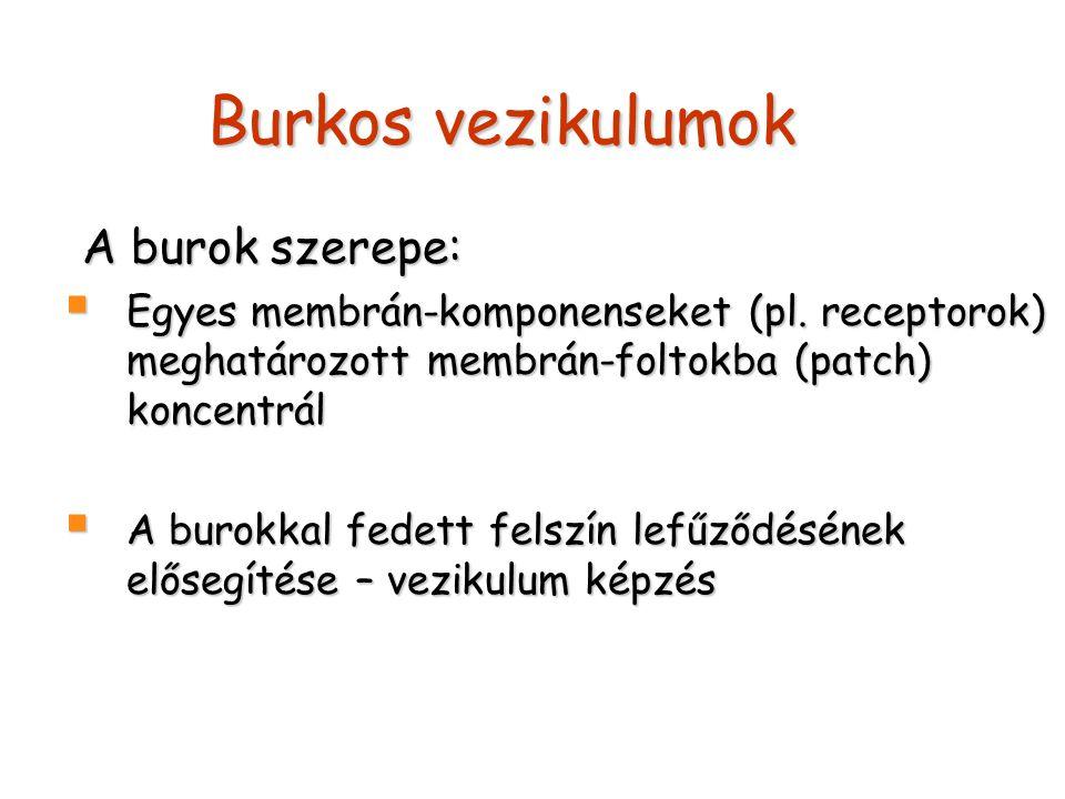 Burkos vezikulumok A burok szerepe: