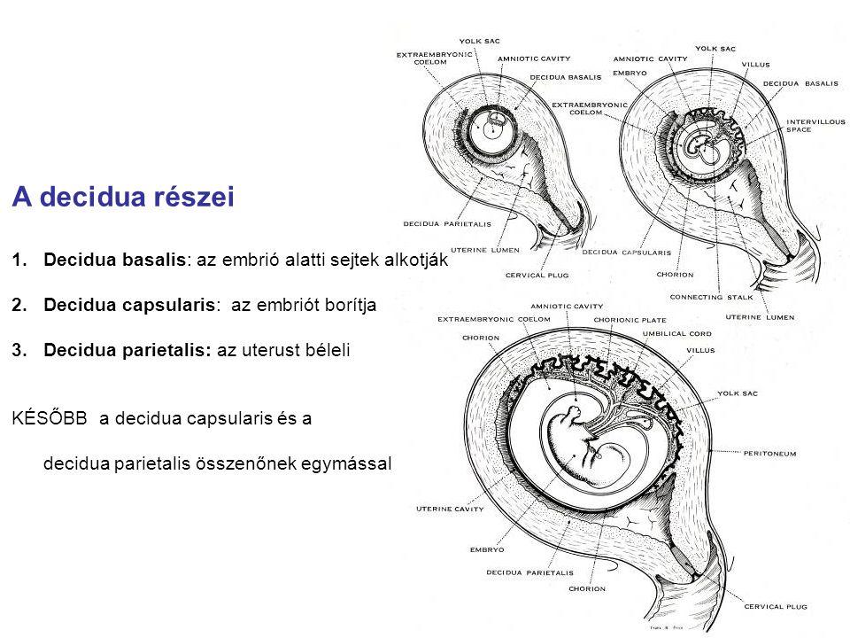 A decidua részei Decidua basalis: az embrió alatti sejtek alkotják