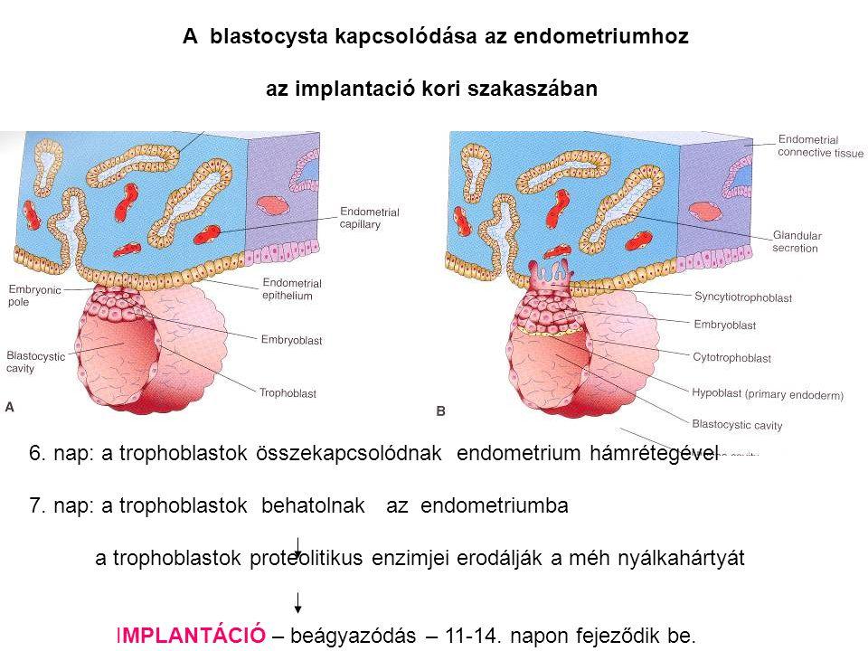 A blastocysta kapcsolódása az endometriumhoz