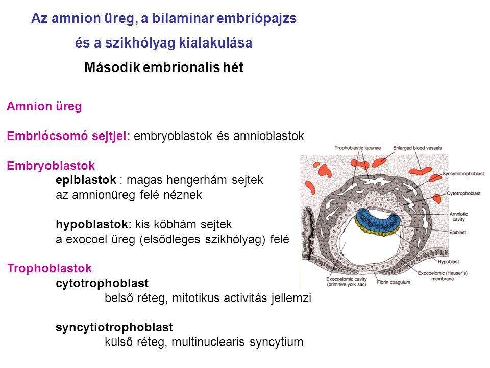 Az amnion üreg, a bilaminar embriópajzs és a szikhólyag kialakulása