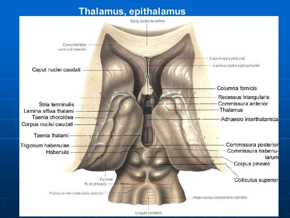 Thalamus, epithalamus