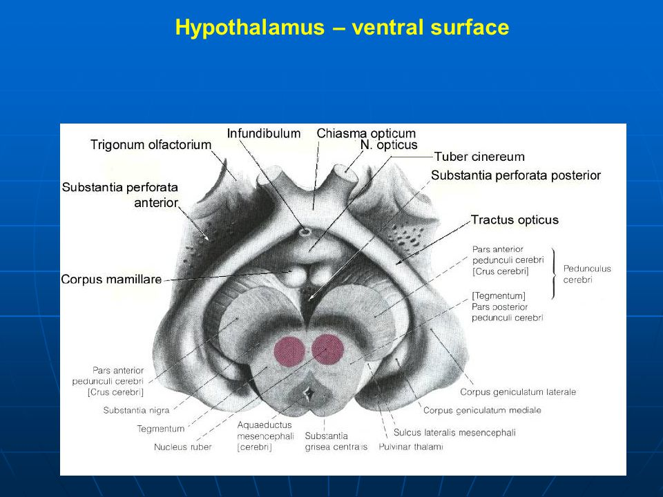 Hypothalamus – ventral surface