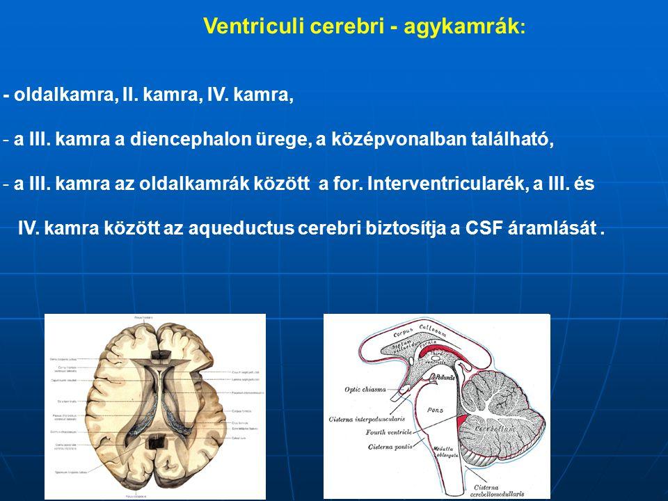 Ventriculi cerebri - agykamrák: