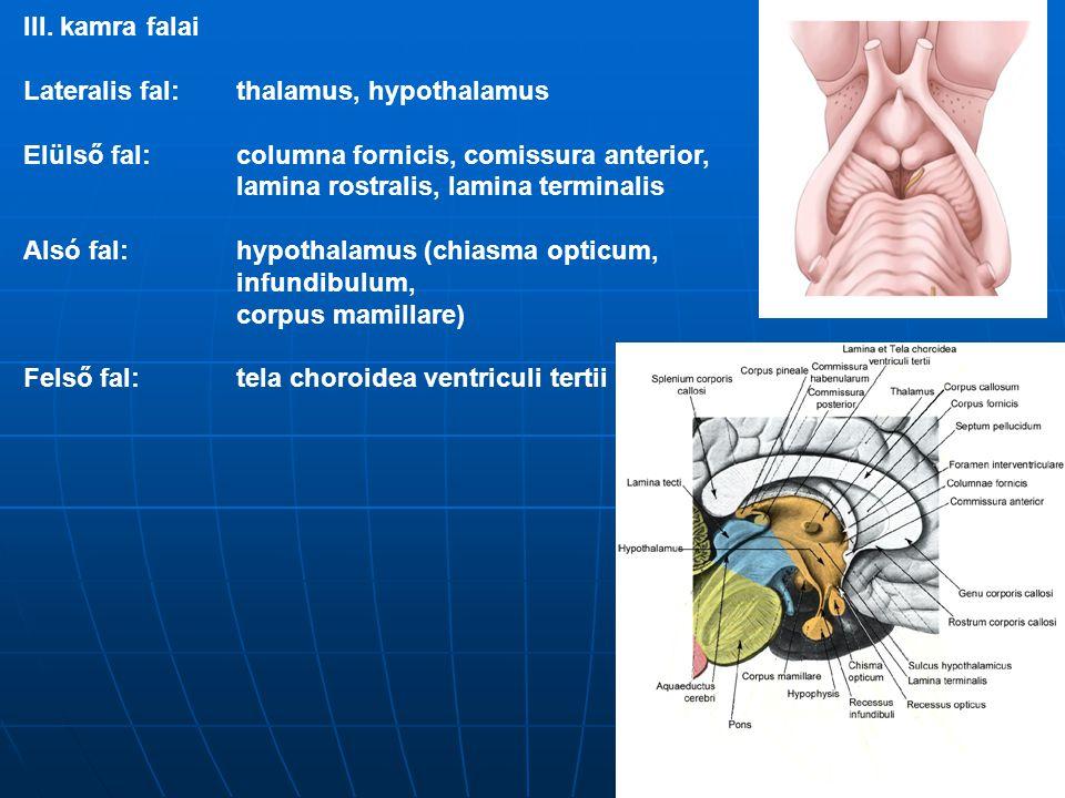 III. kamra falai Lateralis fal: thalamus, hypothalamus. Elülső fal: columna fornicis, comissura anterior,