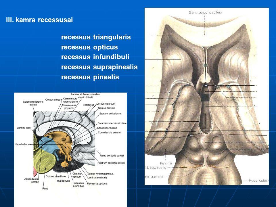III. kamra recessusai recessus triangularis. recessus opticus. recessus infundibuli. recessus suprapinealis.