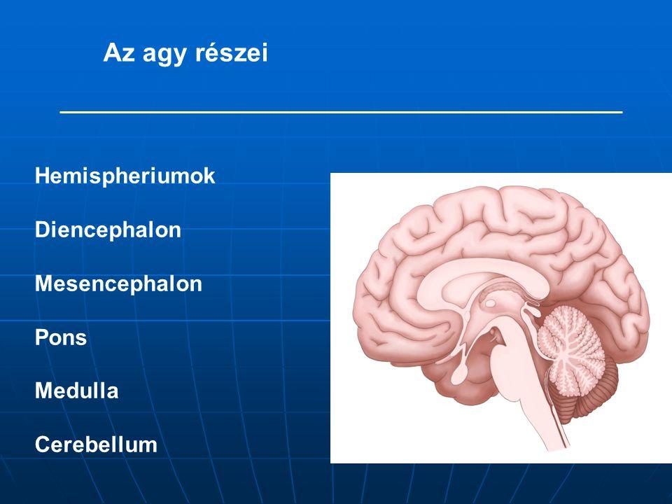 Az agy részei Hemispheriumok Diencephalon Mesencephalon Pons Medulla