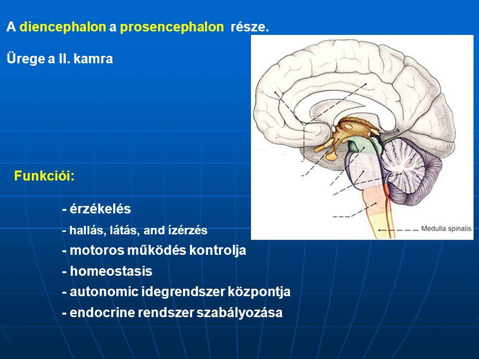 A diencephalon a prosencephalon része. Ürege a II. kamra