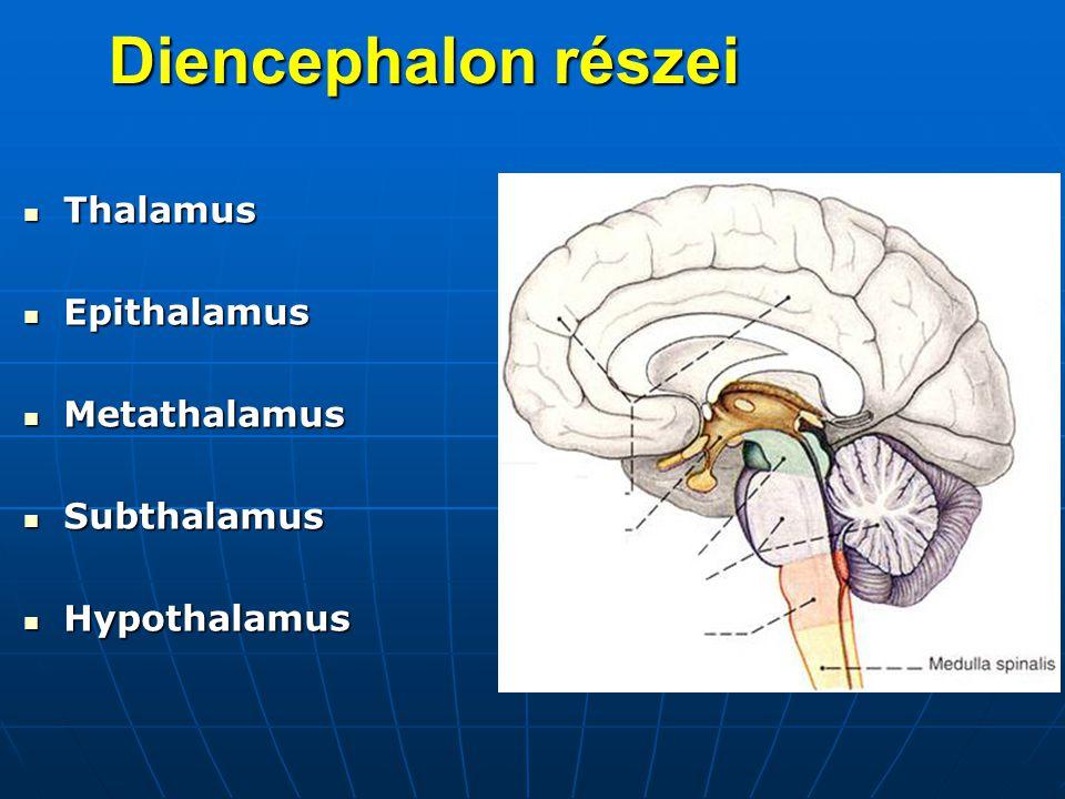 Diencephalon részei Thalamus Epithalamus Metathalamus Subthalamus