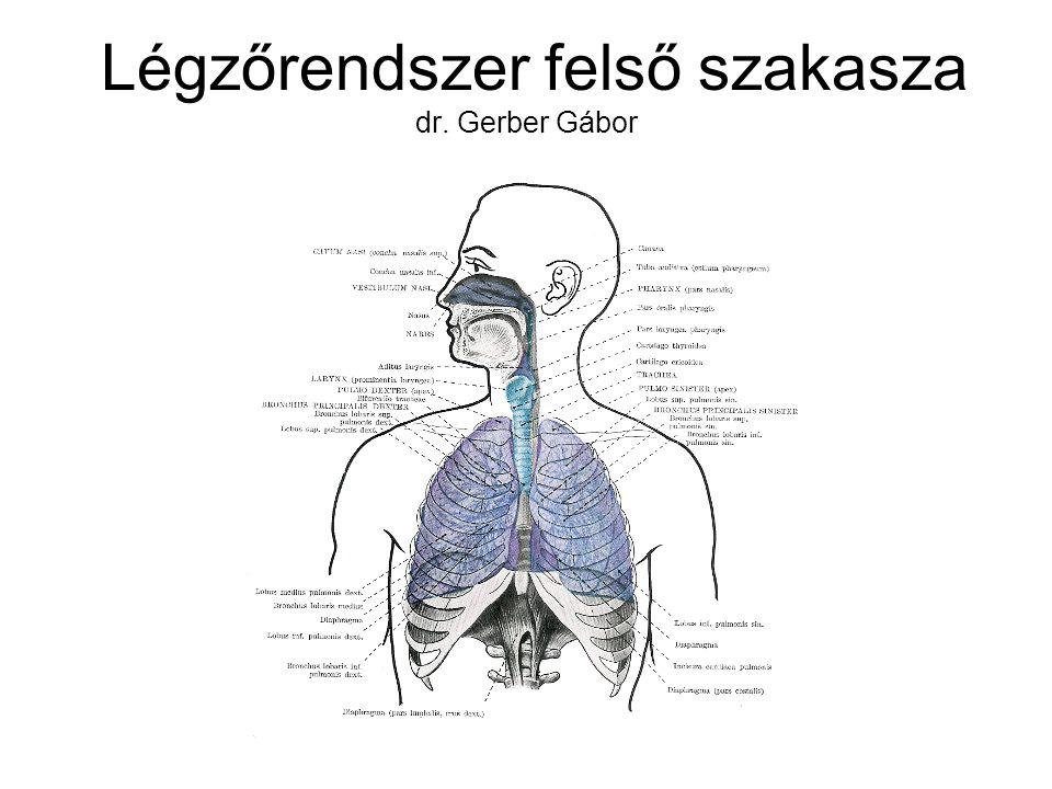 Légzőrendszer felső szakasza dr. Gerber Gábor