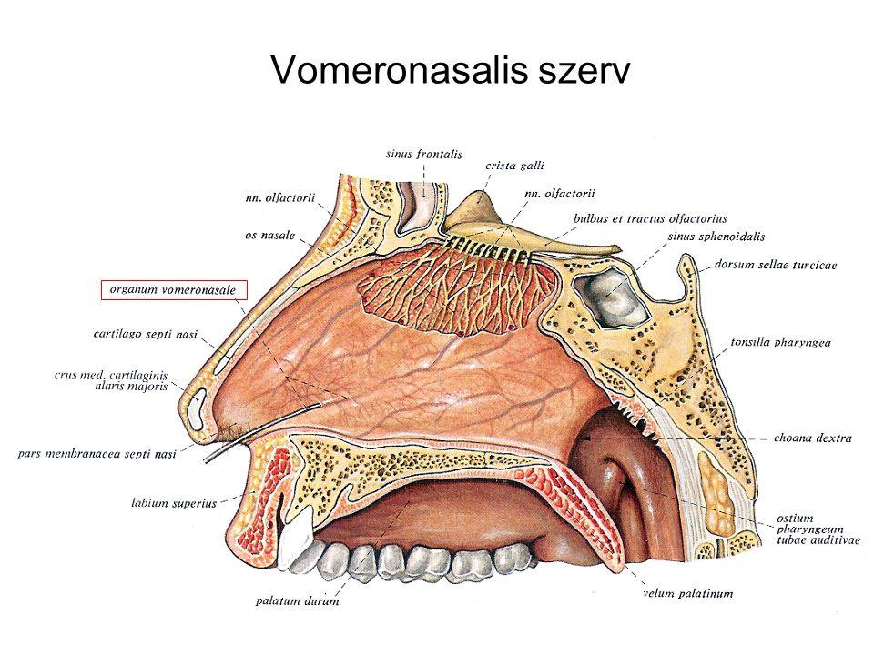 Vomeronasalis szerv