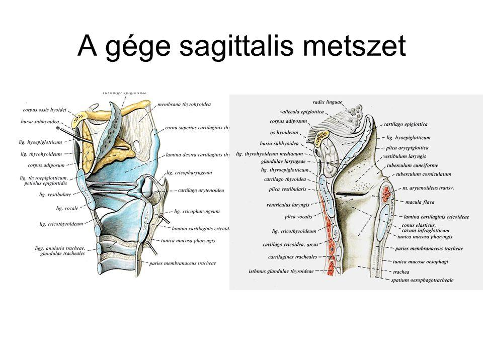 A gége sagittalis metszet