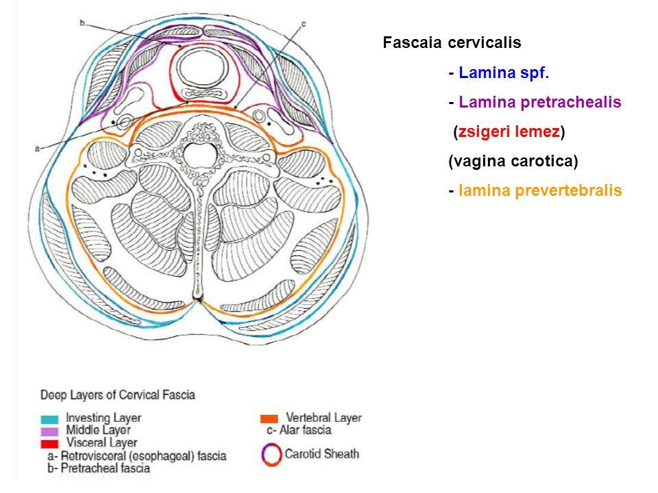 Fascaia cervicalis - Lamina spf. - Lamina pretrachealis.