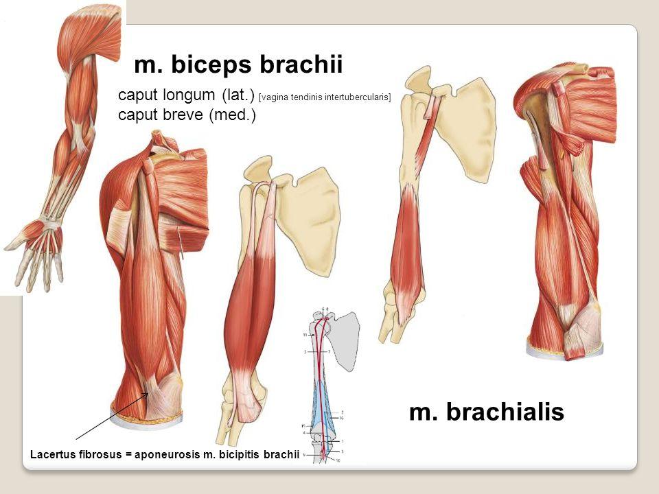 m. biceps brachii m. brachialis