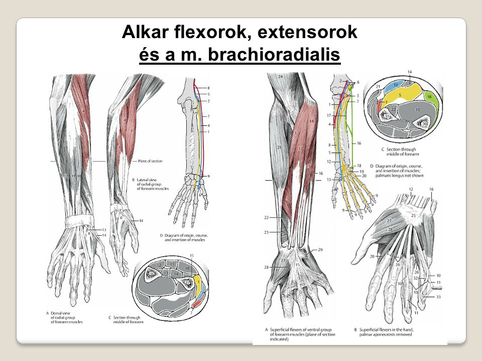 Alkar flexorok, extensorok