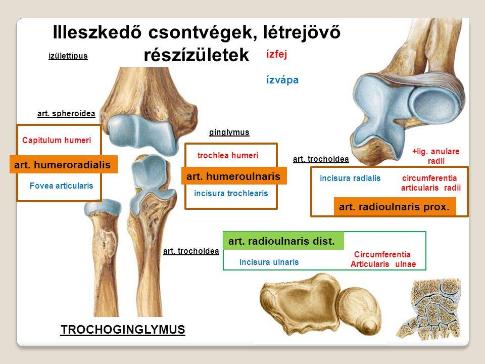 Illeszkedő csontvégek, létrejövő részízületek