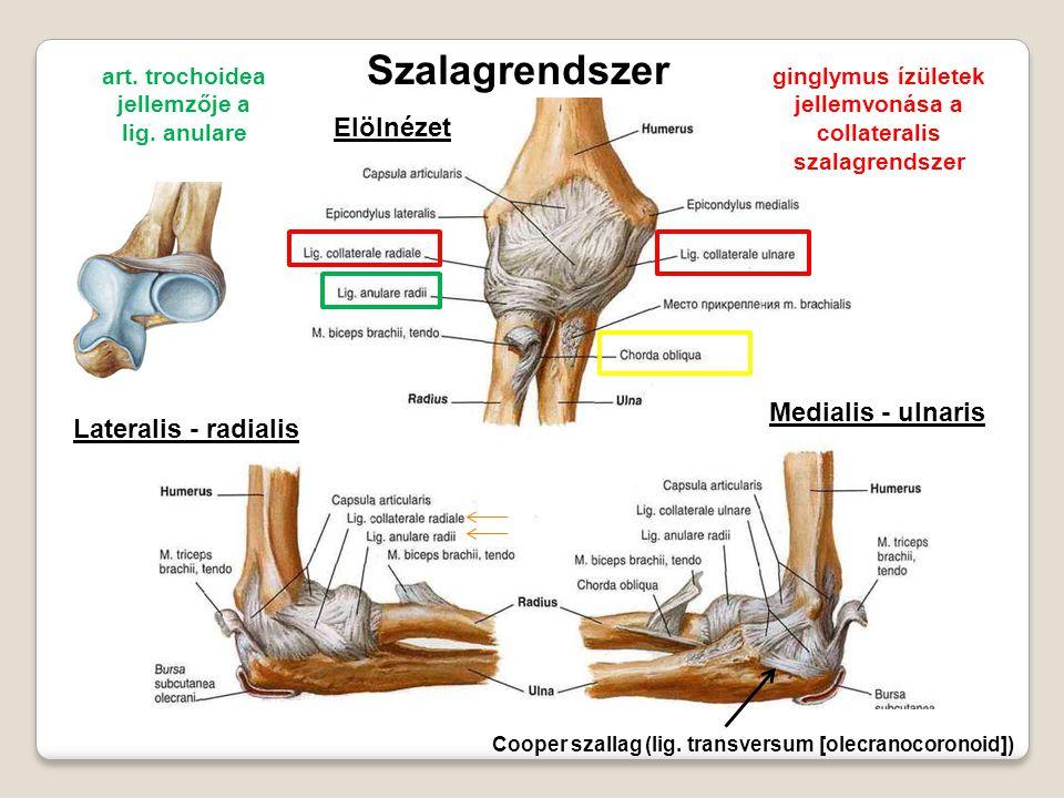 Szalagrendszer Elölnézet Medialis - ulnaris Lateralis - radialis