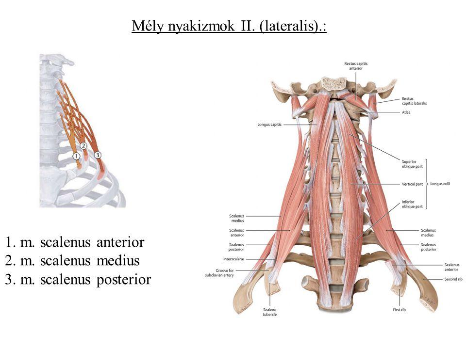 Mély nyakizmok II. (lateralis).: