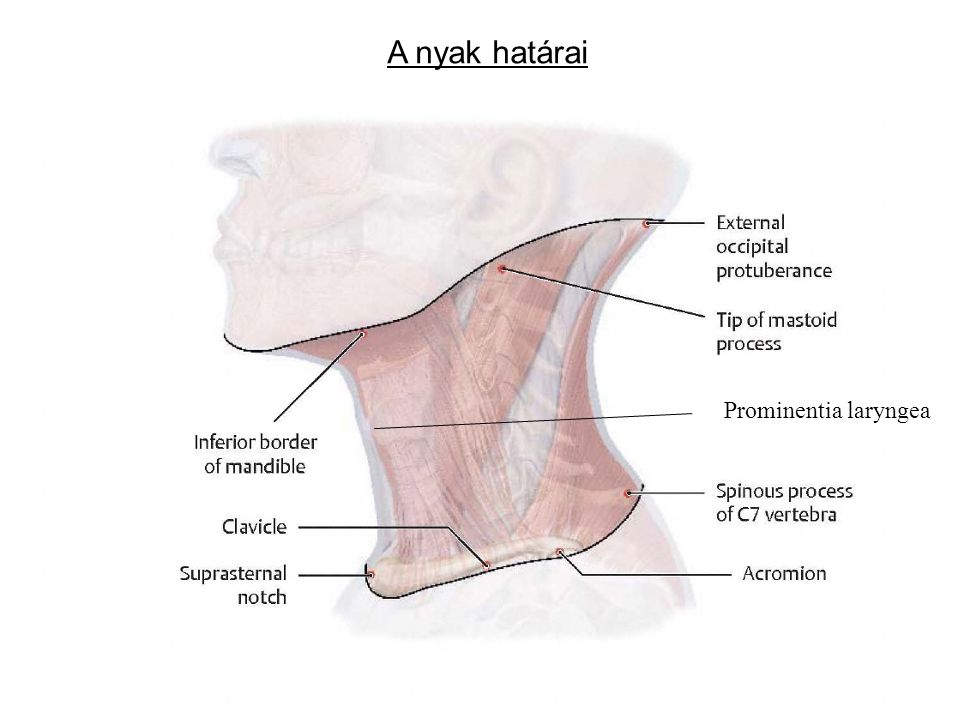 A nyak határai Prominentia laryngea