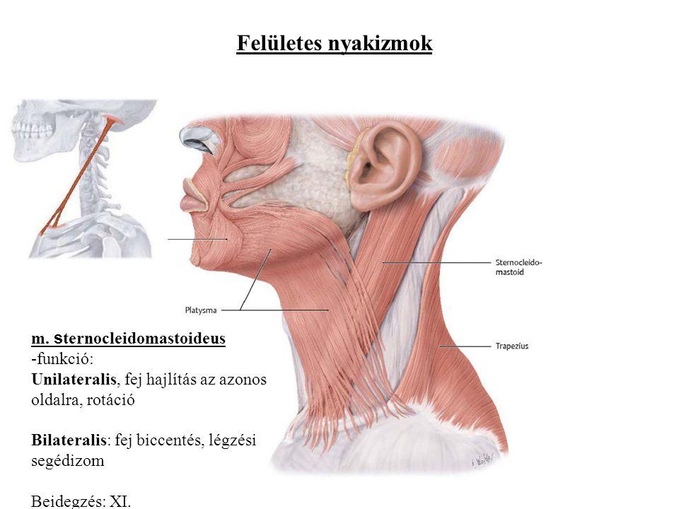 Felületes nyakizmok m. sternocleidomastoideus funkció: