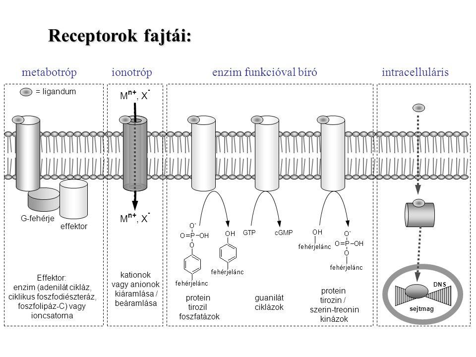 Receptorok fajtái: metabotróp ionotróp enzim funkcióval bíró intracelluláris. GTP.
