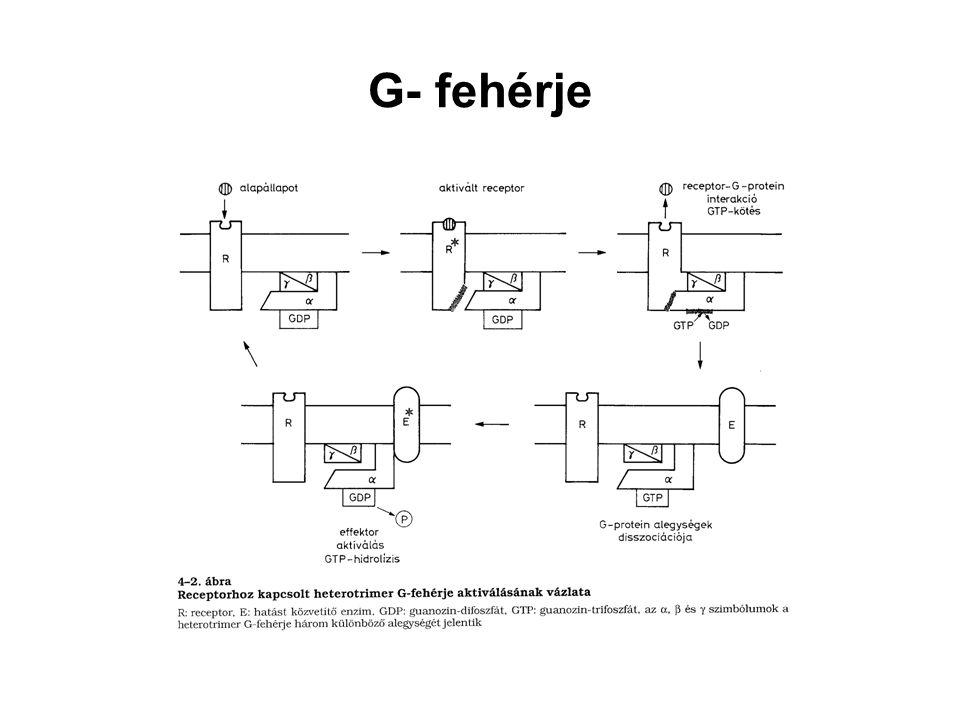 G- fehérje