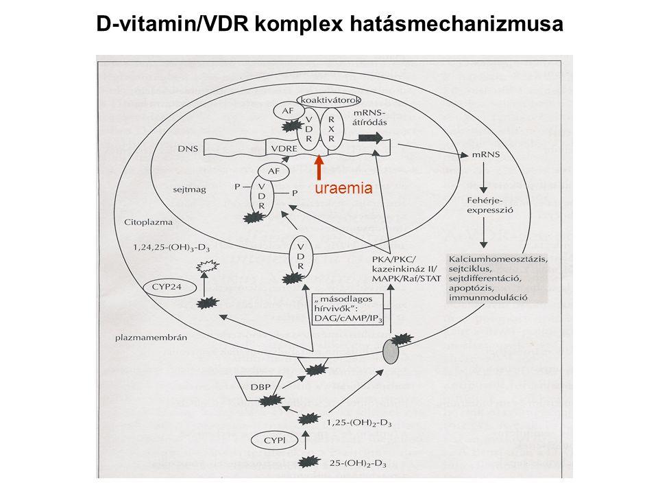 D-vitamin/VDR komplex hatásmechanizmusa