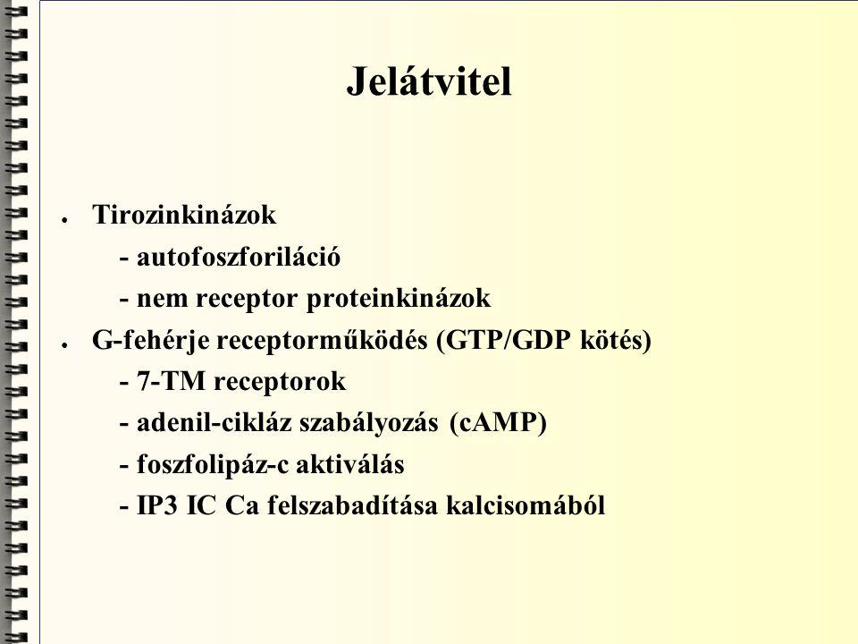 Jelátvitel Tirozinkinázok - autofoszforiláció