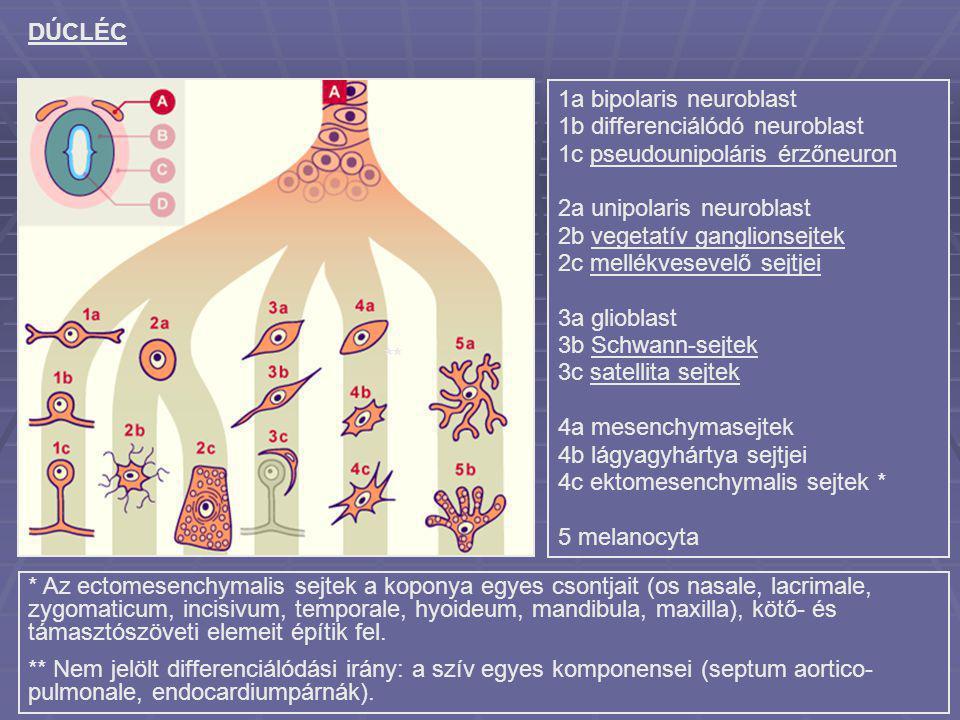 DÚCLÉC 1a bipolaris neuroblast 1b differenciálódó neuroblast. 1c pseudounipoláris érzőneuron. 2a unipolaris neuroblast 2b vegetatív ganglionsejtek.