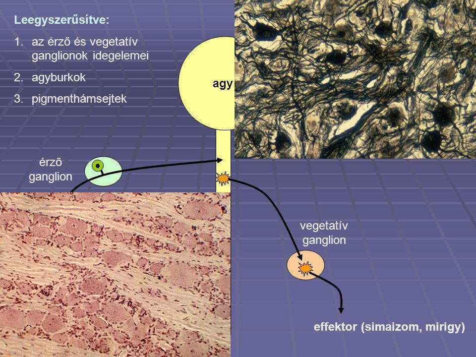 Leegyszerűsítve: az érző és vegetatív ganglionok idegelemei. agyburkok. pigmenthámsejtek. agy. érző ganglion.