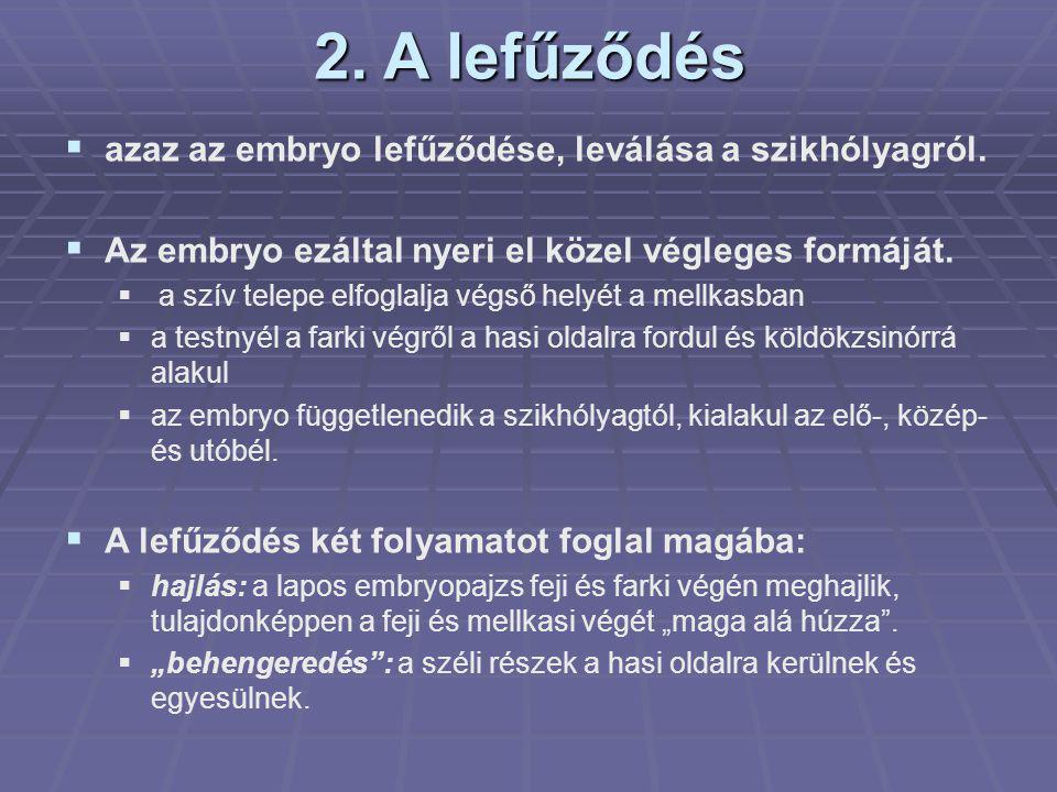 2. A lefűződés azaz az embryo lefűződése, leválása a szikhólyagról.