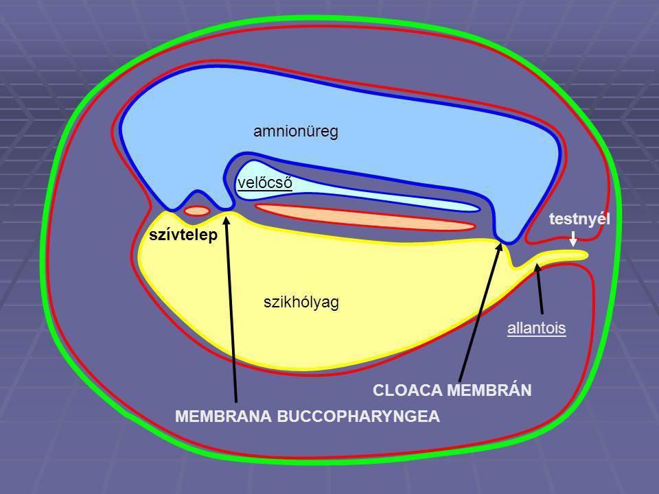 amnionüreg velőcső testnyél szívtelep szikhólyag allantois CLOACA MEMBRÁN MEMBRANA BUCCOPHARYNGEA