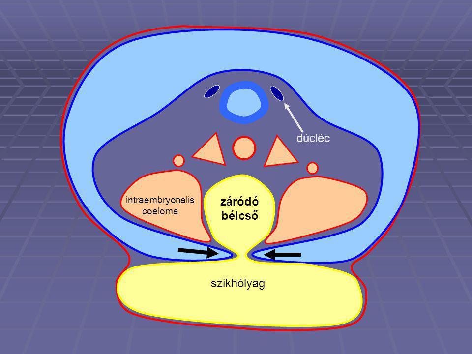 intraembryonalis coeloma