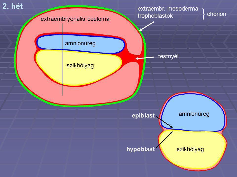 2. hét extraembr. mesoderma trophoblastok chorion