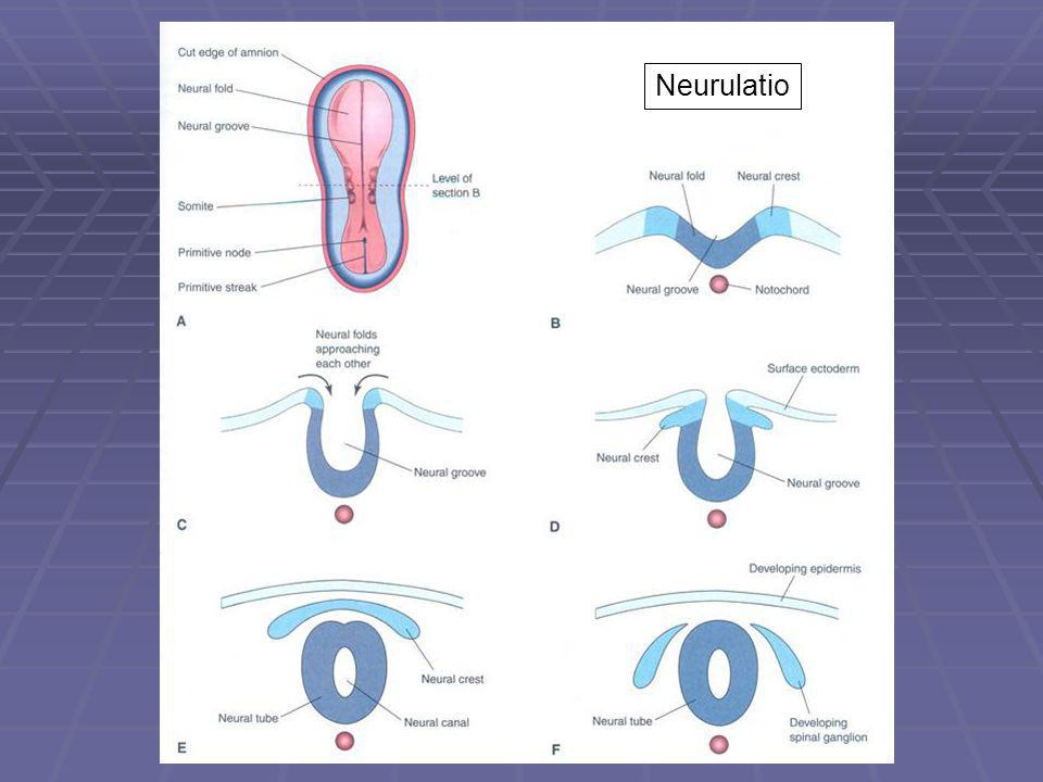 Neurulatio