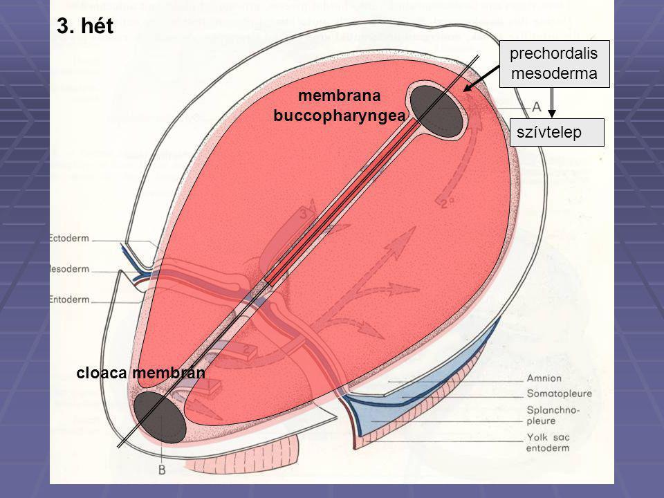 membrana buccopharyngea