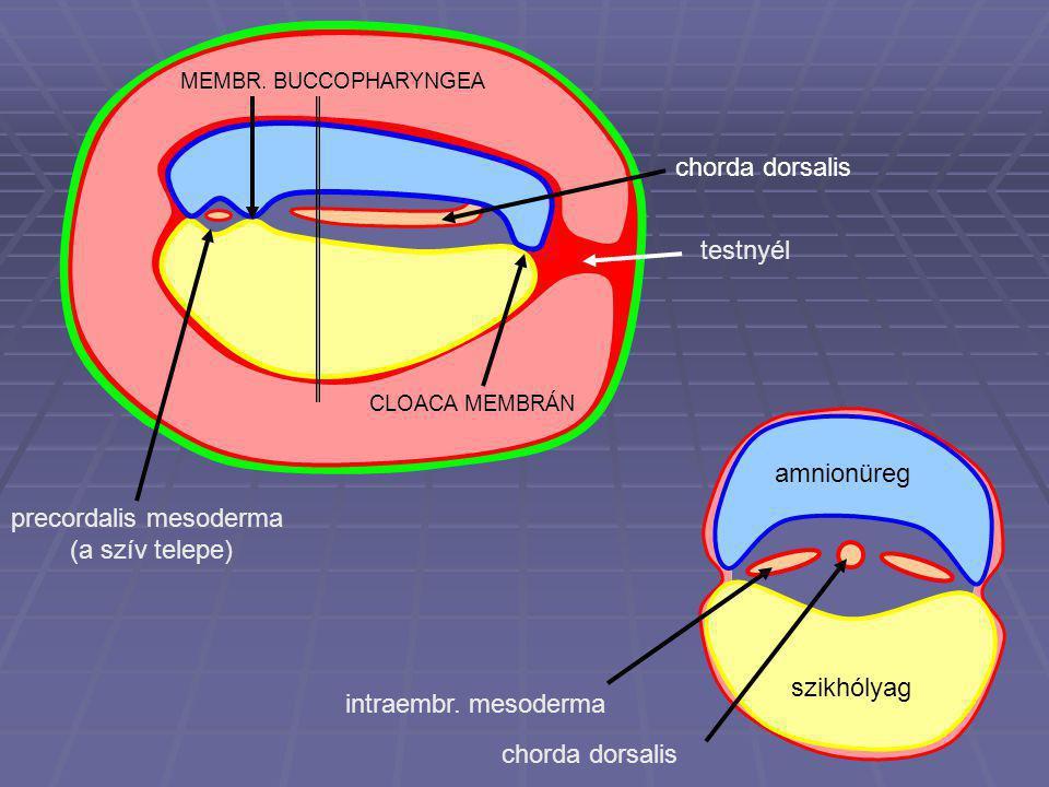 precordalis mesoderma (a szív telepe)