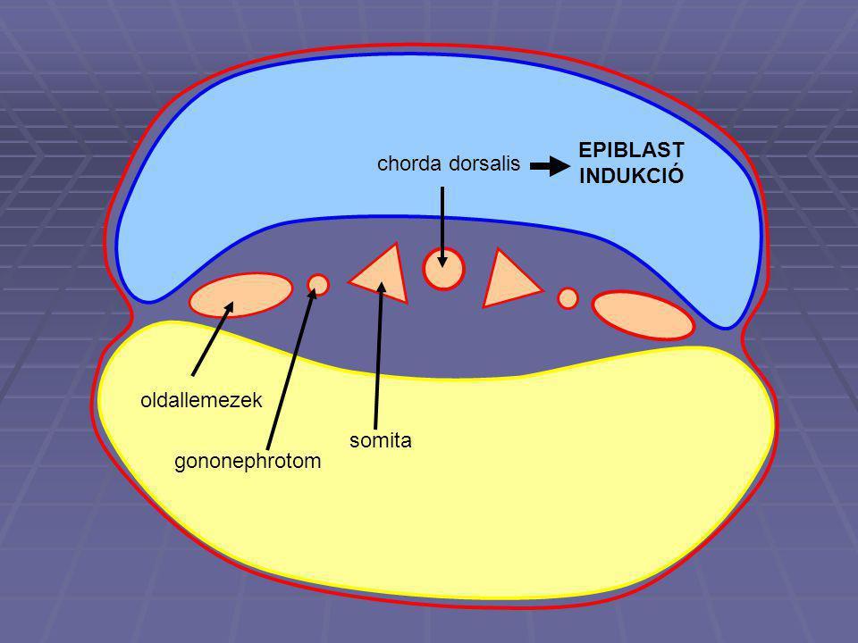 EPIBLAST INDUKCIÓ chorda dorsalis oldallemezek somita gononephrotom