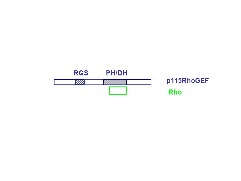 RGS PH/DH p115RhoGEF Rho