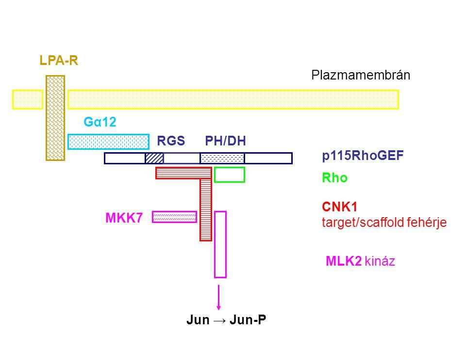 LPA-R Plazmamembrán. Gα12. RGS. PH/DH. p115RhoGEF. Rho. CNK1 target/scaffold fehérje. MKK7.