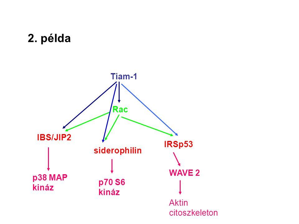 2. példa Tiam-1 Rac IBS/JIP2 IRSp53 siderophilin WAVE 2 p38 MAP kináz