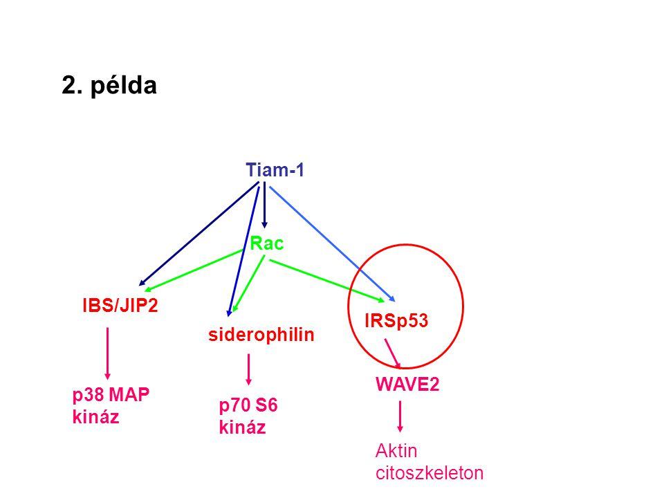 2. példa Tiam-1 Rac IBS/JIP2 IRSp53 siderophilin WAVE2 p38 MAP kináz