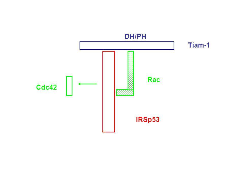 DH/PH Tiam-1 Rac Cdc42 IRSp53