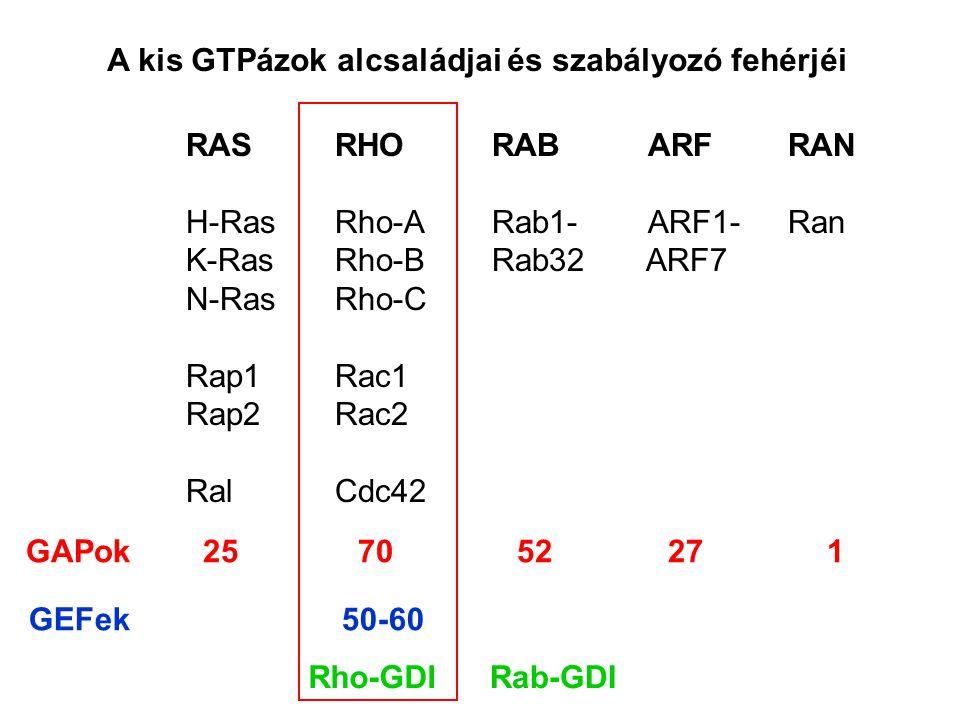 A kis GTPázok alcsaládjai és szabályozó fehérjéi