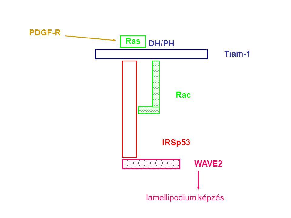 PDGF-R Ras DH/PH Tiam-1 Rac IRSp53 WAVE2 lamellipodium képzés