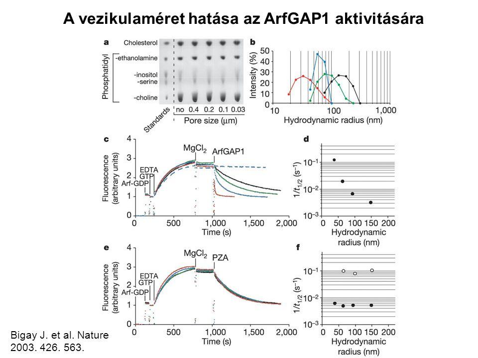 A vezikulaméret hatása az ArfGAP1 aktivitására