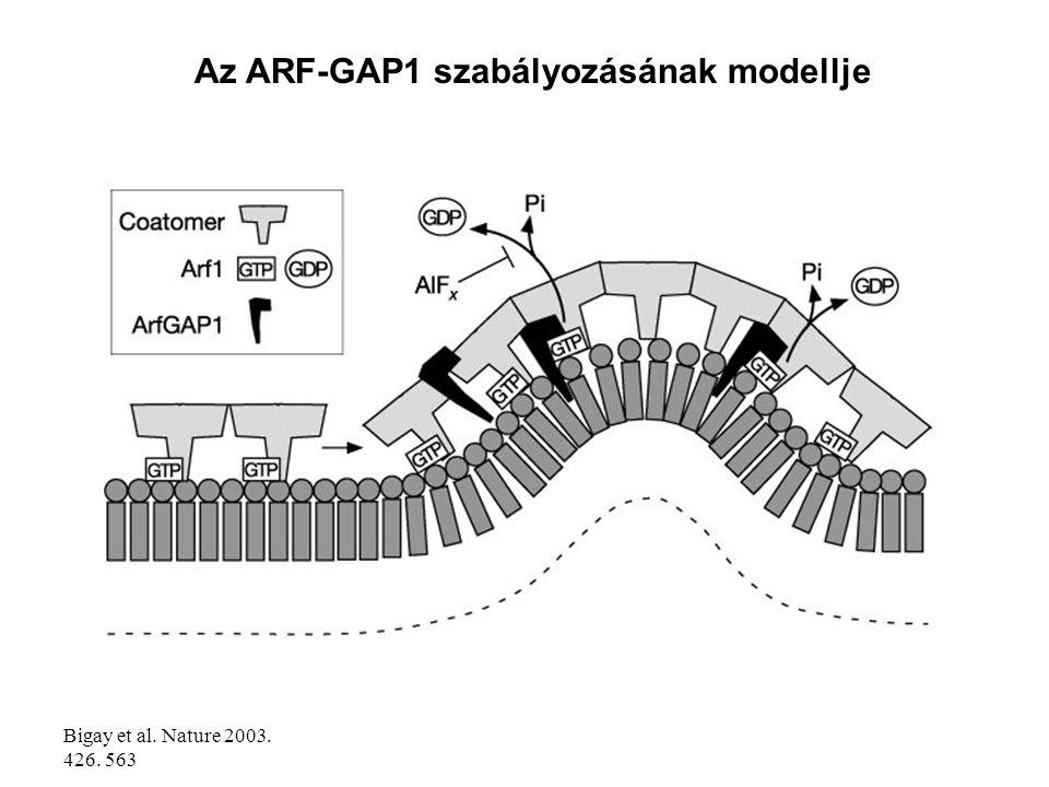 Az ARF-GAP1 szabályozásának modellje