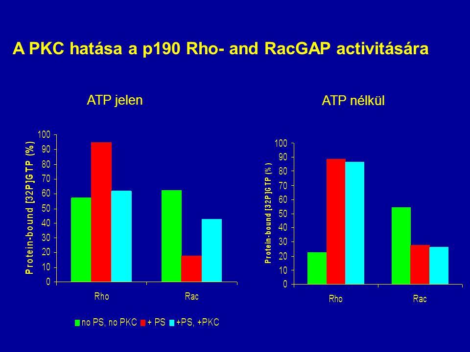 A PKC hatása a p190 Rho- and RacGAP activitására