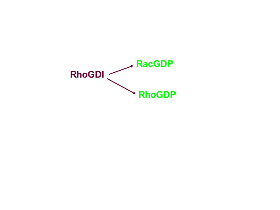RacGDP RhoGDI RhoGDP